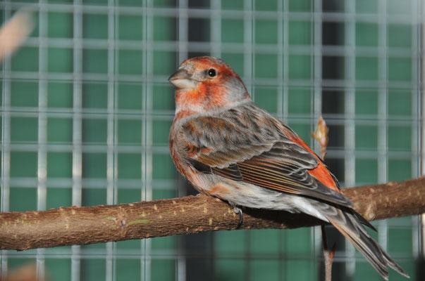 Hybride                                     (Steckbauer Ludwig)