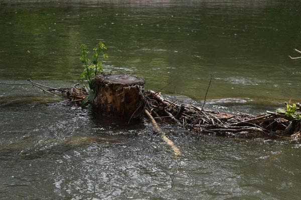 Verankerte Bäume treiben teils wieder neu aus