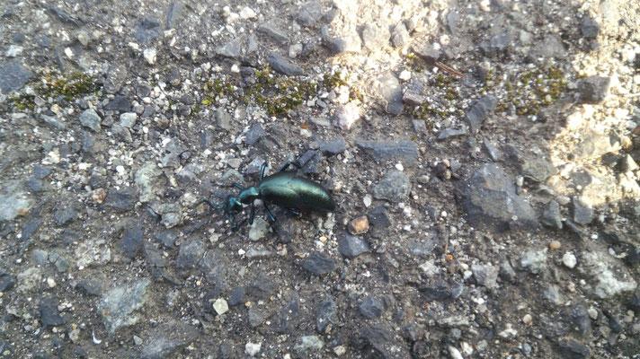 ツチハンミョウ。深いグリーンで梨地系メタリック。羽が小さく、触覚の形が奇妙です。