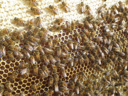 Arbeiterinnen bei der Honigkonservierung
