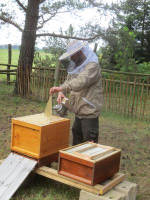 Durchsicht am offenen Bienenvolk