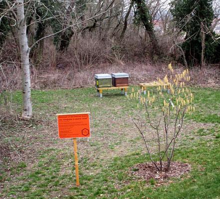 Die Haselblüte ist der erste wichtige Pollenlieferant für die Bienen.