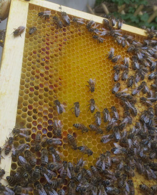 links Pollen - rechts verdeckelte Brut