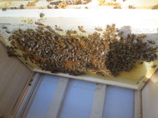 Blick in die Beute (Bienenwohnung)