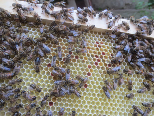 Pollenzellen, bunt gefüllt.