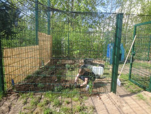Pflanzaktion. Clematis, Erdbeere, Lavendel und Ginster bereichern den Bienenstandort.