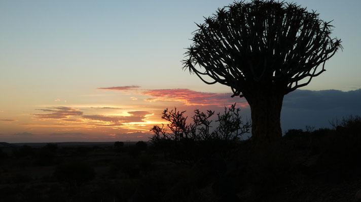 Sonnenuntergang, Köcherbäume bei Mariental,  Nov. 2016