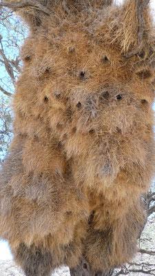 Nester des Siedelwebers