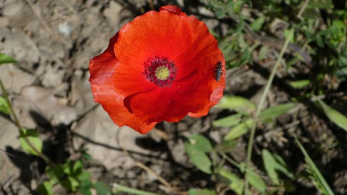 Klatsch-Mohn (Papaver rhoeas), 22.05.2016, Apricale --> Dolceacqua