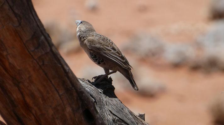Glanzstar, Namibia, Nov. 2016
