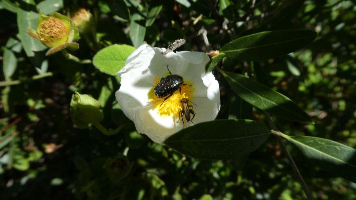 Montpellier-Zistrose (Cistus monspellensis) und ... , 21.05.2016, Rocchette Nervina --> Apricale
