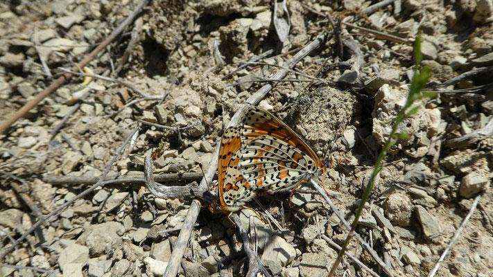 Schmetterlinge / Butterflies [Großer Eisvogel (Limenitis populi) ??], 22.05.2016,  Appricale --> Dolceacqua
