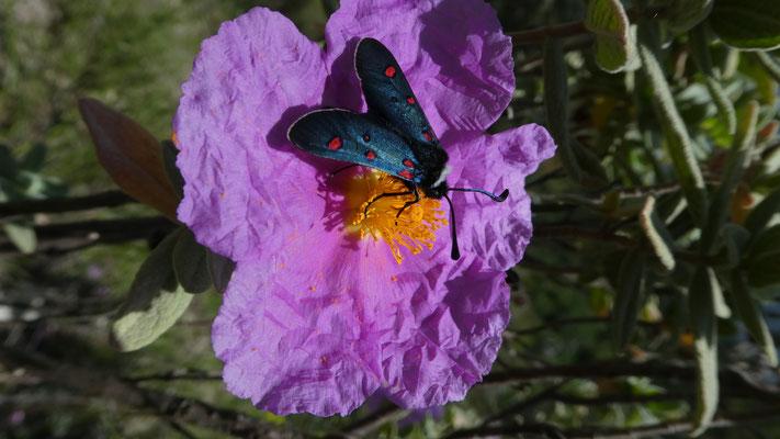 Bluttröpfchen (Zygaena filipendulae) auf Zistrose (Cistus creticus), 19.05.2016, Castellar --> Grimaldi