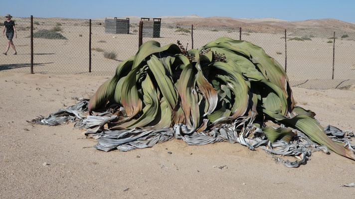 Welwitschia mirabilis (1500 Jahre alt?)