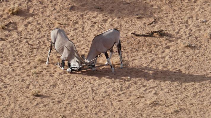 Kämpfende Oryxantilopen, Sossusvlei, Nov. 2016