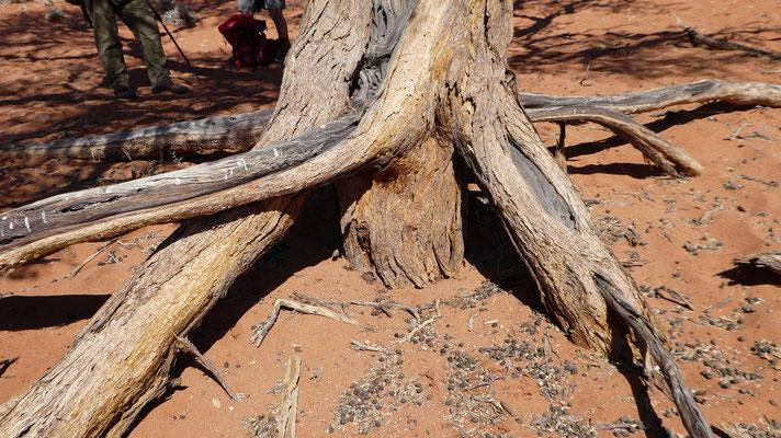 Wurzeln eines Kameldornbaumes (bis zu 70 m tief), Nov. 2016