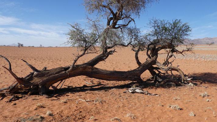 Die Reste einer Oryxantilope in der Namib, Nov. 2016