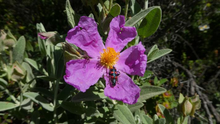 Bienenwolf (Ttrichodes apiarius) auf Zistrose (Cistus creticus), ...05. 2016, Rocchetta --Nervina --> Apricale
