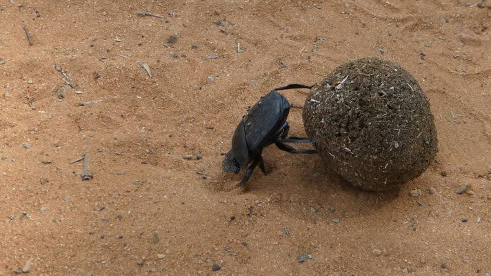 Mistkäfer / Dung beetle, Waterberg Wilderness Lodge, 20. Nov. 2016