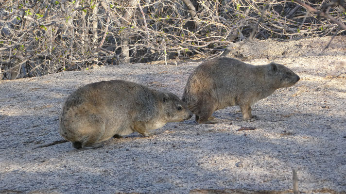 Klippschliefer (Dassies), Erongo Wilderness Lodge, Nov. 2016