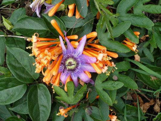 Passiflora und ... Jasmintrompete