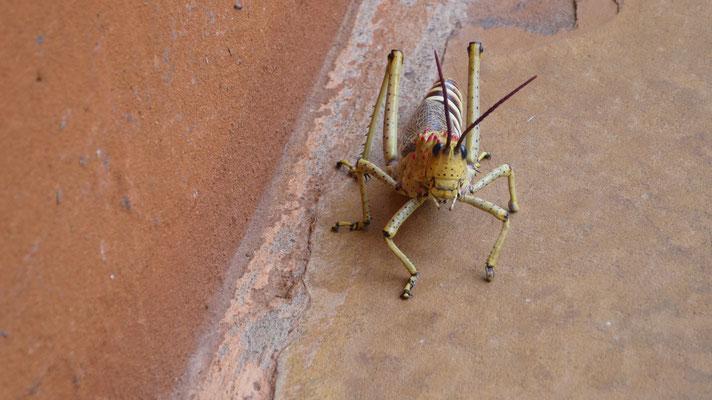 Heuschrecke, Namibia, Nov. 2016