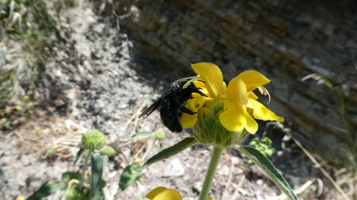 Holzbiene (Xylocopa violaccea)22.05.2016