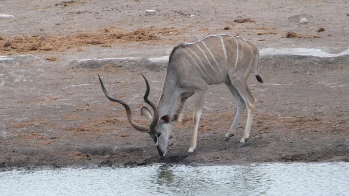 Kudu, Etosha Nationalpark, Nov. 2016