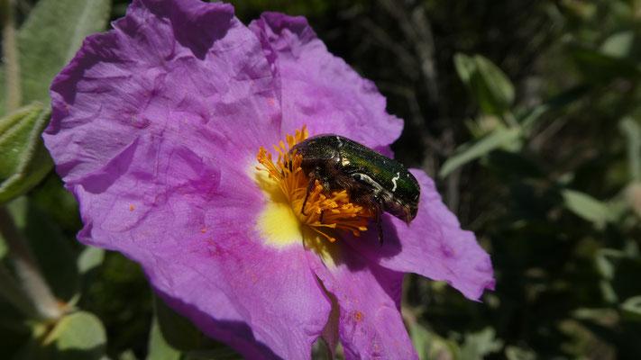 Rosenkäfer (Centonia aurata)  auf Zistrose (Cistus creticus), 14.05.2016, Saorge --> Breil sur Roya
