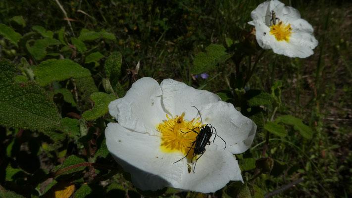 Montpellier-Zistrose (Cistus monspellensis) und ... , 21.05. 2016,Rocchette Nervina --> Apricale