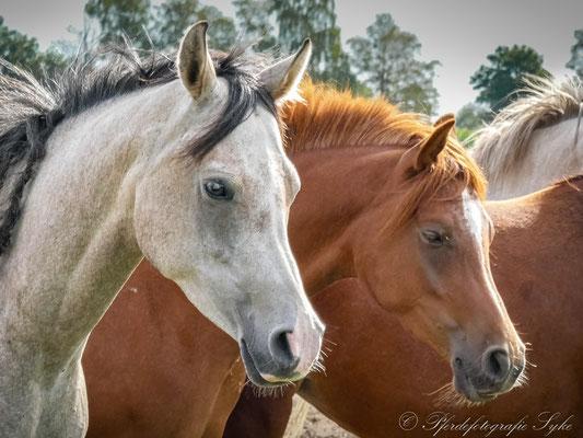 Pferdefotografie Syke Araber Herdenleben