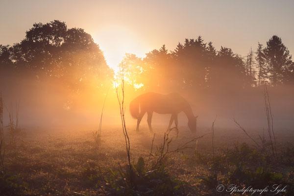 Pferd im Nebel Sonnenaufgang