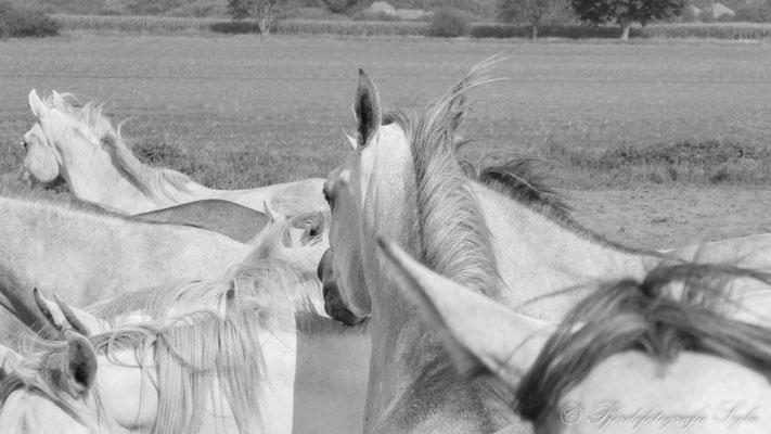 Pferdefotografie Syke Araber Schimmelherde
