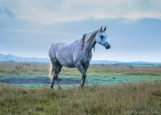 Pferdefotografie Syke Araber