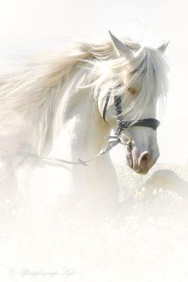 Pferdefotografie Syke Cremello Spanier