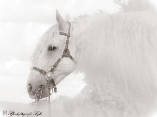 Pferdefotografie Syke Schimmel romantisch