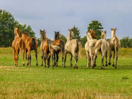 Pferdefotografie Syke Araber Galopp Herde
