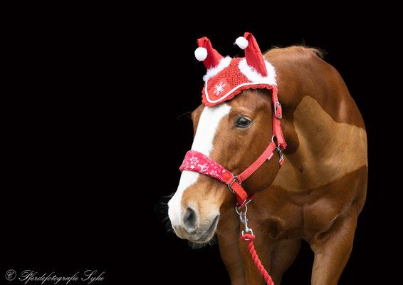Pferdefotografie Syke schwarzer Hintergrund Pferd Weihnachtsmütze