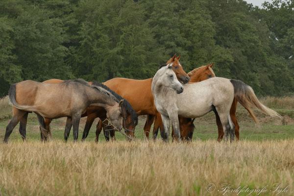 Pferdefotografie Syke Araber Weide