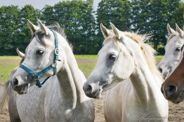 Pferdefotografie Syke Araber Portrait