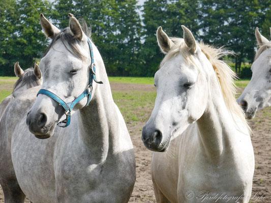 Pferdefotografie Syke Araber verträumt