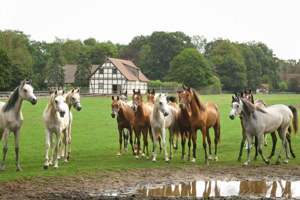 Pferdefotografie Syke Araber Wasser Spiegelung