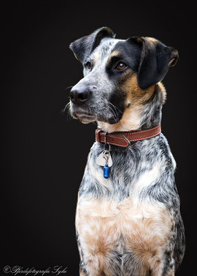 Pferdefotografie Syke schwarzer Hintergrund Hund