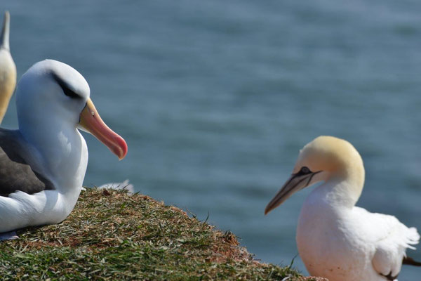 Albatros am Vogelfelsen