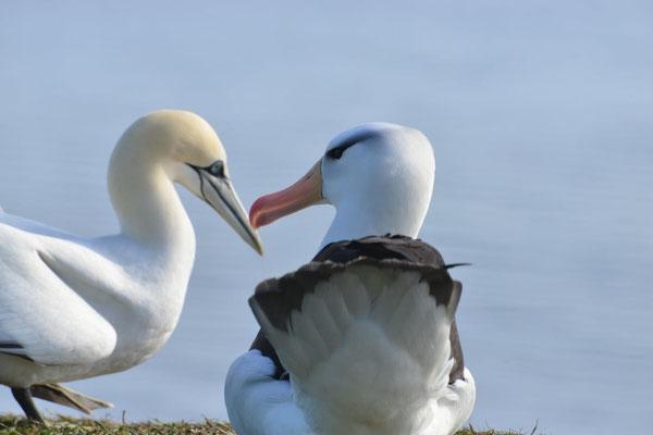 Albatros und Basstölpel