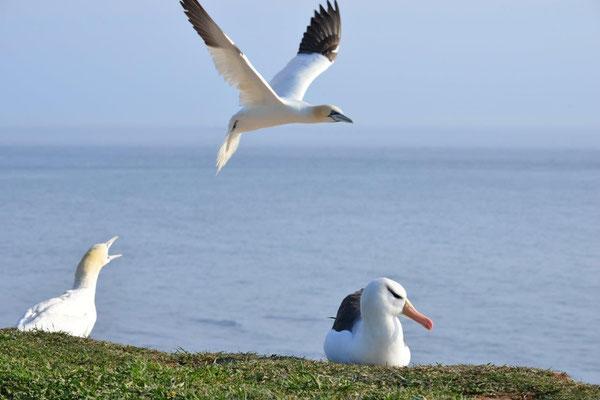 Basstölpel über Albatros