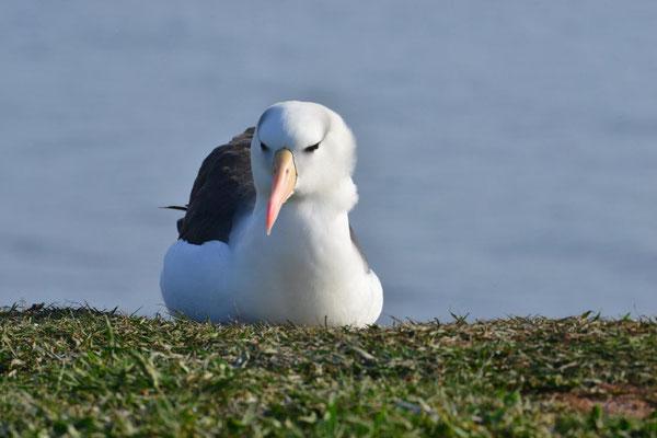 Albatros Klippe