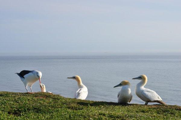 Basstölpel Kolonie mit Albatros