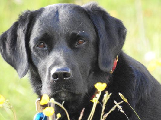 Jana, die gemütliche Labradorhündin
