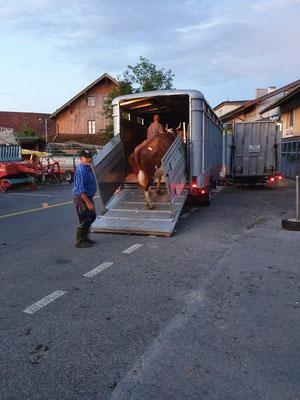 Morgen um 5.00 Uhr Kühe in Zimmerwald verladen